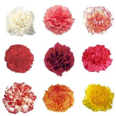 flower colors carnation single colour