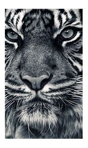 Download White Siberian Tiger Wallpaper Gallery