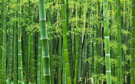jual tanaman hias bambu jepang jakarta barat java
