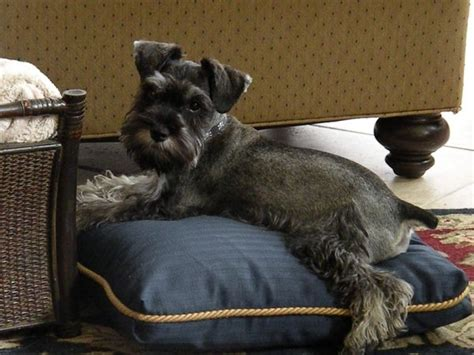 2520 best images about mini schnauzers on pinterest
