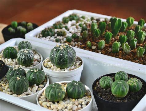 #astrophytum #asterias #nudum | แอสโตร, กุหลาบ