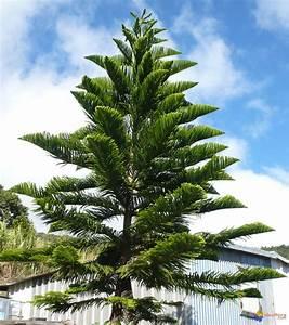 Araucaria Columnaris Pictures