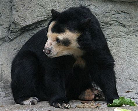 Dolores: Germany's Hairless Spectacled Bear - Geekologie