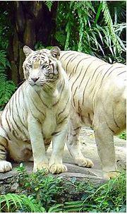White Tiger | The Biggest Animals Kingdom