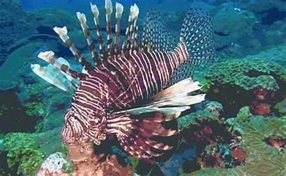 Lionfish Invasive Noaa Office Reddit Sanctuaries Marine