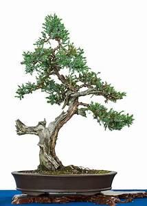 Chinesischer Wacholder Bonsai : juniperus squamata blauzeder wacholder als bonsai ~ Sanjose-hotels-ca.com Haus und Dekorationen