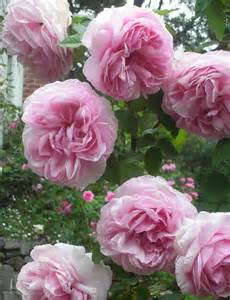 Old French Roses
