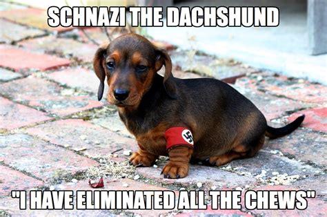 Dachshund Birthday Meme - 24 dachshund memes that will totally make your day sayingimages com