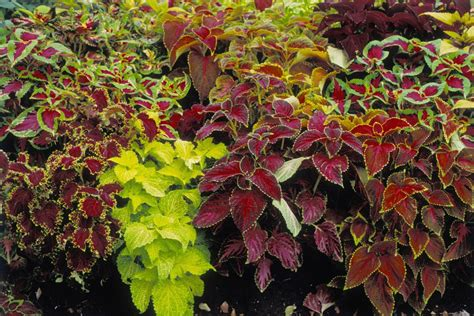 coleus plants how to grow coleus plants in pots