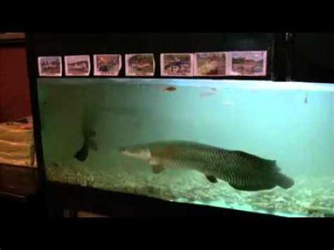 amazone monster fish  big aquarium  youtube