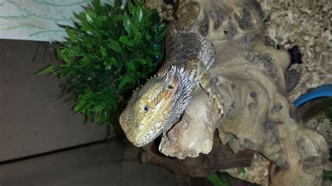 6 month old bearded dragon pictures to pin on pinterest