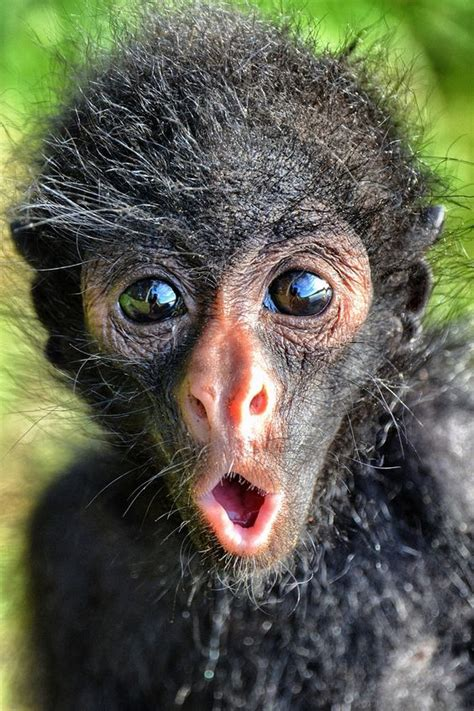 cutest spider monkey  cute expression luvbat