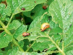 Teppichkäfer Larven Bekämpfen : k fer larven bek mpfen und bienen sch tzen pflanzenbau ~ Lizthompson.info Haus und Dekorationen