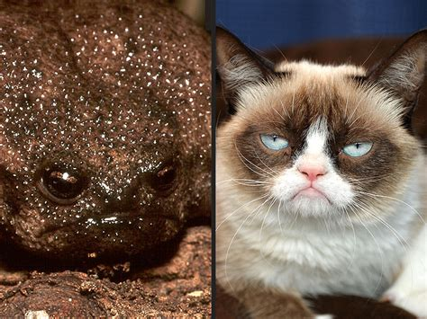 Frogs and Grumpy Cat Meme