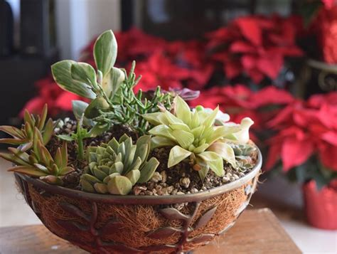 watering succulents in containers how to plant succulents growing tips garden design