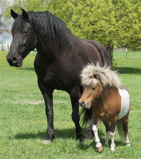 foto zum vergleich ein pferd und ein minipferd