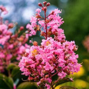 gal coral pink sioux crape myrtle tree crmsiog