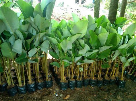 jual bibit pisang jual bibit tanaman jasa pembuatan