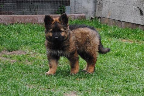altdeutscher schaeferhund langhaar welpen bilder pascha