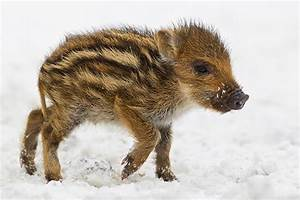 Baby Wild Boar in the Snow - Feature Shoot