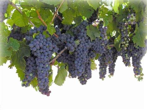 what are grape vines grapevine