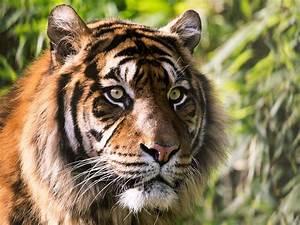 Wallpaper Tiger, Wild animals, Starring, 4K, Animals, #12542