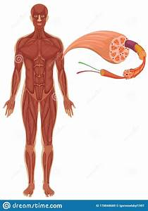 Human With Muscle Diagram Stock Illustration  Illustration