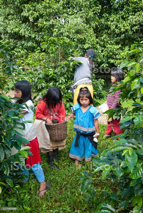 Download in eps and use the icons in websites, adobe illustrator, sketch, coreldraw and all vector design apps. Children Helping With Coffee Harvest In Panama Stock Photo - Download Image Now - iStock