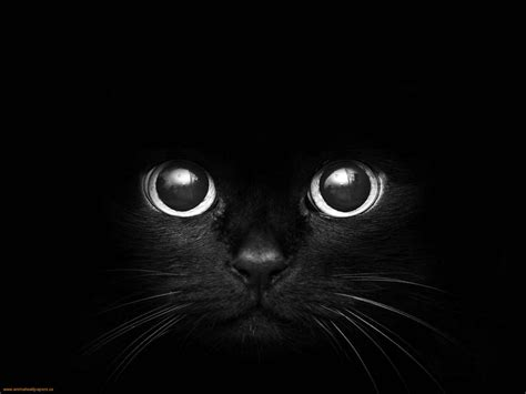 Animals Zoo Park Black Cat Eyes Wallpapers, Blue Cat Eyes