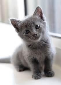 gray cats what kittens kitties