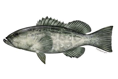 grouper fish gulf species grow roll science own plan master open source fishing groupers