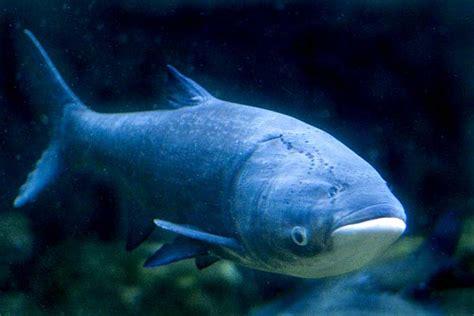 asian fish carp science buzz