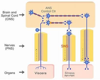 Autonomic System Cns Parasympathetic Pns Nervous Organization