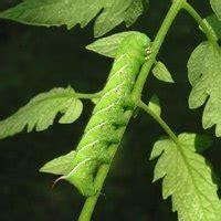 life cycle   tomato hornworm ehow