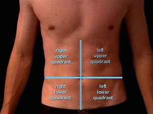Kidney  Location Of Organs In The Abdomen