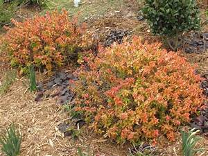 Abelia Grandiflora Kaleidoscope : all about abelia weigela and spirea ~ Melissatoandfro.com Idées de Décoration