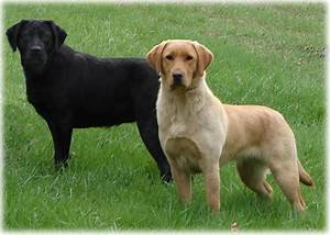 All List Of Different Dogs Breeds  The Labrador Dog  U201clab U201d