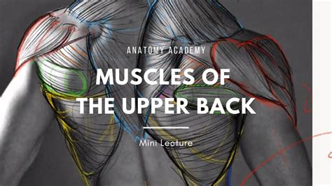 Clinically, the upper back has a gigantic say in the health and function of the shoulder but doesn't how to fix your shoulder by treating your upper back. Upper Back Anatomy - YouTube