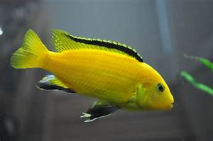 A Labidochromis caeruleus or Electric Yellow Cichlid. This ...