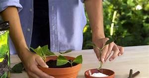 Kirschlorbeer Selber Ziehen : schnell und unkompliziert stecklinge wurzeln lassen stecklinge ziehen pflanzen selbst vermehren ~ Orissabook.com Haus und Dekorationen
