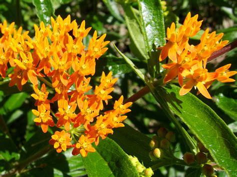 milkweed plants for twelve milkweeds for monarchs the national 7504