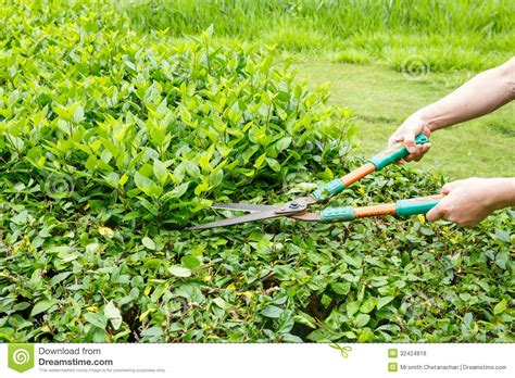 trimming bushes trimming shrubs scissors royalty free stock photos image
