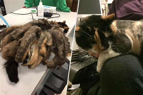 how to get mats out of cat hair amazing animal transformations in 2016