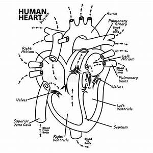Human Heart Diagram Anatomy Tattoo Stock Vector