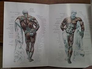 Strength Training Anatomy  U2013 Your Illustrated Guide To