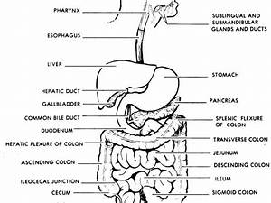 Digestive System Diagram Labelled