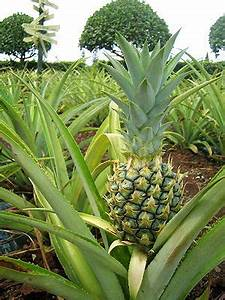 Plant D Ananas : pineapple plant saw rows of pineapples growing at a friends house in jamaica for the first time ~ Melissatoandfro.com Idées de Décoration