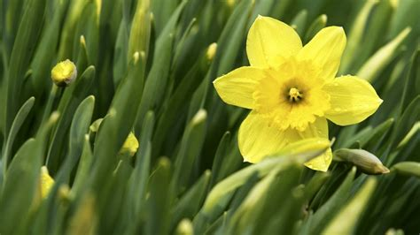 teaching how to plant daffodils at home with p