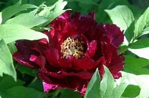 Rosa Blühende Bäume April : foto baumpfingstrose weinig ~ Michelbontemps.com Haus und Dekorationen
