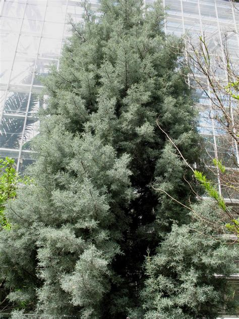 cupressus arizonica blue pyramid online plant guide cupressus arizonica var glabra blue ice smooth arizona cypress